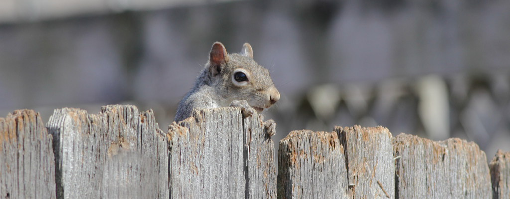 Squirrel Peeking Over Fence
