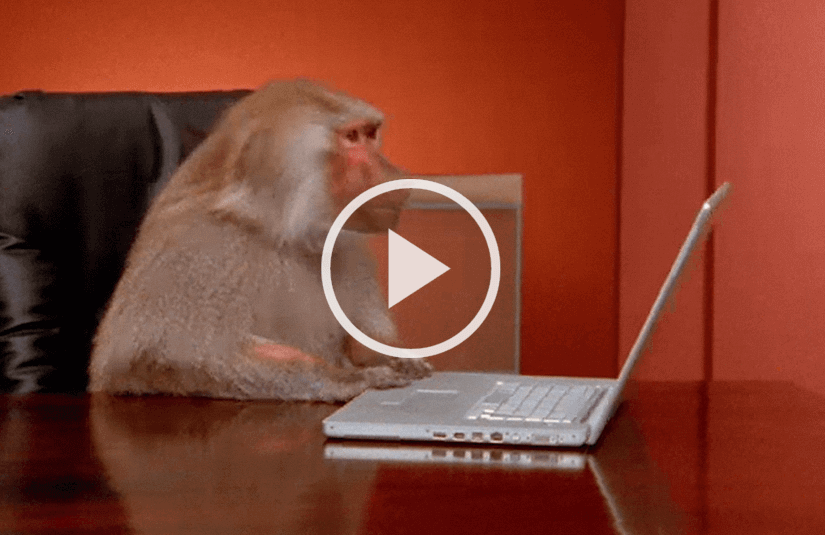 Baboon looking at a laptop