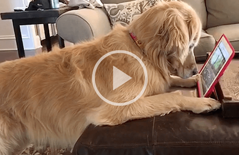 Dog watching video on tablet